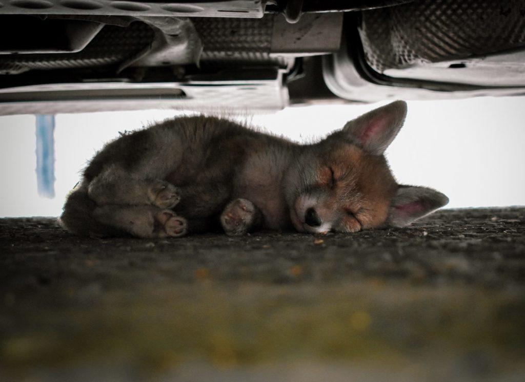 'Red fox cub', Myddleton Square, Nicole Valente (18–35 category)